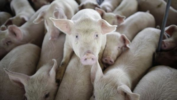 Corrupt USDA Retracts Position on Meatless Mondays