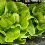 Vegan Salad Recipe: Butter Lettuce with Apples and Walnuts
