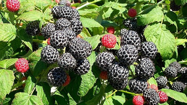 Black Raspberries vs. Oral Cancer