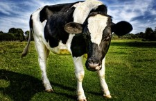14 Cool Facts You Never Knew About Cows