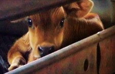 The Fate of Dairy Calves