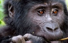 Uganda Wildlife Authority Offers Additional Gorilla Permits