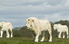 Saving the White Lions, Africa's most sacred animals