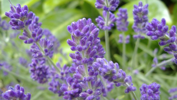 Lavender for Migraine Headaches