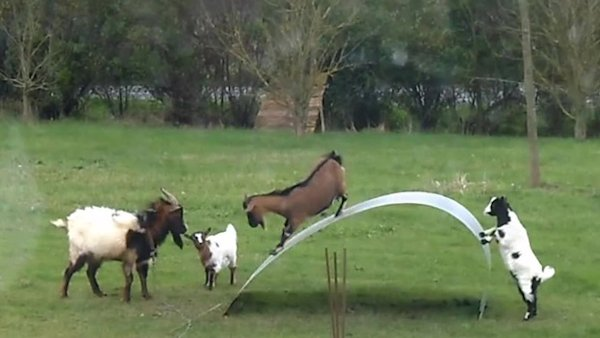 Goats Playing, Just Like Little Kids