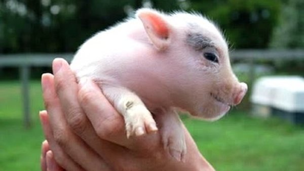 Ultimate Cute Micro Pig Compilation
