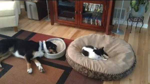 Funny Video: Cats Stealing Dog Beds