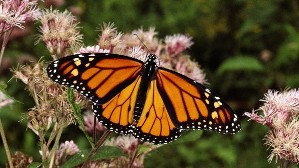 Killing Off the Monarchs