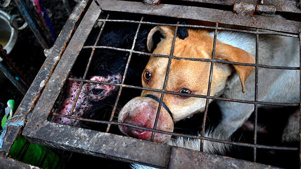The cruelty of the Philippine Dog Meat Trade