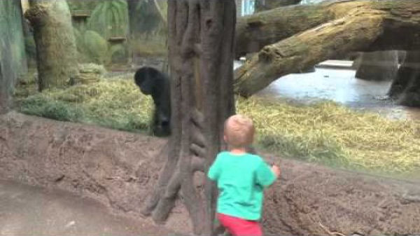 Baby gorilla and toddler play peek-a-boo