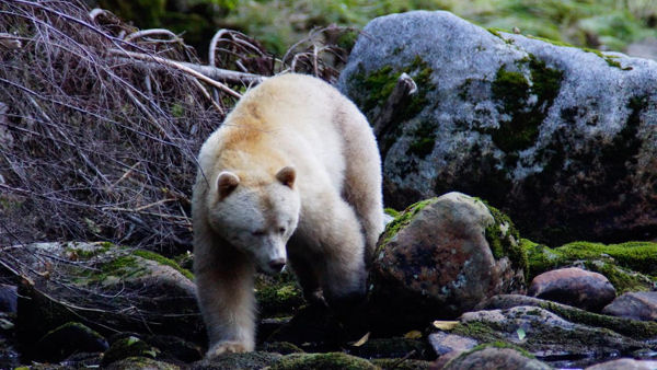 Outer Shores Celebrates Protection of Great Bear Rainforest