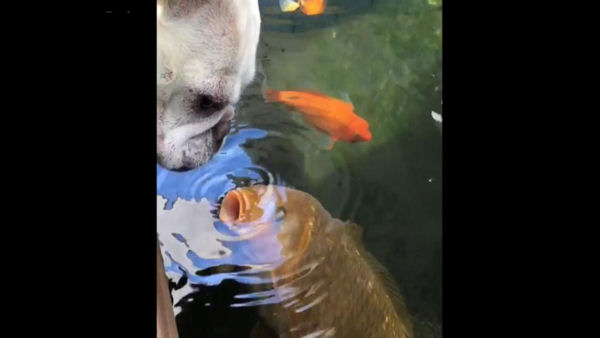 French Bulldog and Fish Can't Stop Kissing