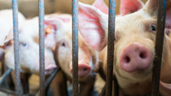 Help Stop the University of Missouri from Killing Pigs