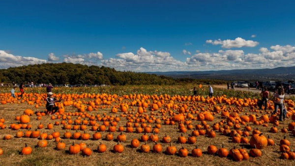 Pick-Your-Own Pumpkin Farms Draw Visitors to the Hudson Valley